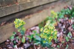 (Yutaka Seki) Tags: plant flower bokeh backyard ricohxr2s xrrikenon28mmf28 agfavista200 film analogue homedeveloped unicolorpresskit argentixcac41powderkit pakonf135