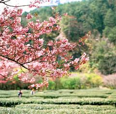 Cherry blossom (Jeanhom Chen) Tags: hasselblad 500cm 80cf fujichrome rdpiii 武陵農場