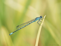 Coenagrion puella (da.da13) Tags: wildlife insect nature coenagrion puella detail panasonic lumix dmcg80 olympus mzuiko ed 60mm f28 macro
