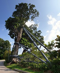 "A roadside tree being propped up by large metal structure... This is what I call ""support"". (M-Gang) Tags: roadsidetree support cityscape tree streetside mountrosieroad singapore"