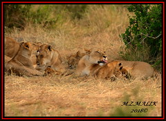 FEMALE LIONESS (Panthera leo) WITH CUBS......MASAI MARA......SEPT 2018. (M Z Malik) Tags: nikon d800e 400mmf28gedvr kenya africa safari wildlife masaimara keekoroklodge exoticafricanwildlife exoticafricancats flickrbigcats leo lioness pantheraleo ngc
