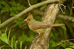 NORTHERN CARDINAL ( F ) (tony.cox27) Tags: northern cardinal