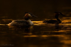 Golden Hour Grebes (budgiepaulbird) Tags: grebe eveninglight eveningsun birds waterfowl canon7dmark2 100400mark2 lakes