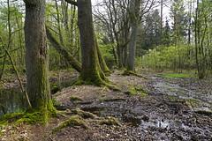 Frühling im Wald - springtime (okrakaro) Tags: frühling wald spring time forest trees water bach natur landschaft nature landscape germany april 2019