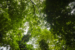 The Canopy of Green (Triple_B_Photography) Tags: indonesia bogor java canon eos 7d 2018 holiday travel tourism tourist tropical daun leaf leaves trees pohon