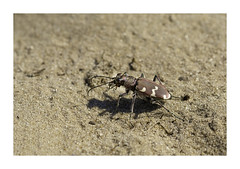 Zandloopkever, Tiger beetle. (Huub H) Tags: zandloopkever tiger beetle tigerbeetle cicindelinae basterdzandloopkever