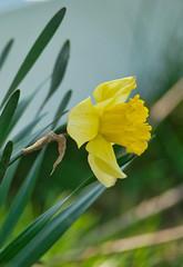 Daffodil (mmorriso2002) Tags: flower daffodil yellow garden backyard