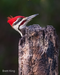 Pileated Woodpecker (dbking2162) Tags: birds bird beautiful nature nationalgeographic portrait pileated wildlife woodpecker red explore eyes indiana