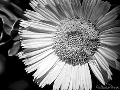 Progession (Instagram: orlan_rs) Tags: blackandwhite blancoynegro flor flower macro macrofotografía macrophotgraphy macroworld