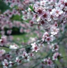 Spring_South Korea (Jirisan M.t) Tags: yashica mat 124g rolleiner