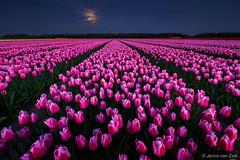 Tulips in the shadow of the moon light (© Jenco van Zalk) Tags: tulip tulp tulipa red white typicaldutch bloom blooming flower flowering night moonlight moon