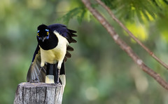 Plush-crested Jay (Thelma Gatuzzo) Tags: natureza wildlife aquidauana wild aves wildbirds nature brazil birds birdbirdwatching thelmagatuzzophotography© pantanalsul 2019 pantanal barramansa avesbrasileiras brasileiros fauna flora oiseau oiseaux pajáro pássaros vogel bird observaçãodeaves birdsofbrazil animaissilvestres birdwatching birdphotography naturephotography