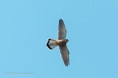 Kestrel, Sidmouth slope (Johnchess) Tags: richmondpark fridaybirdgroup 19april2019