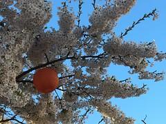 Cherry Blossom (rotabaga) Tags: sverige sweden göteborg gothenburg järntorget iphone