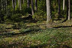 Anemonen im Seewald (Helmut Reichelt) Tags: anemonen buschwindröschen seewald april frühling wald starnbergersee spiegelung wasser see ammerland bayern bavaria deutschland germany leica leicam typ240 captureone12 dxophotolab leicasummilux50mmf14asph