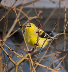 American Goldfinch (mahar15) Tags: spring wildlife nature birds outdoors yellow goldfinch finch americangoldfinch