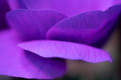 Anemone petals (Tashata) Tags: macro flower anemone petals violet closeup botanical flora sonyilce7rm2 fe90mmf28macrogoss spring