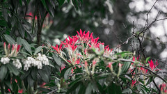 Tips of fire reds (Coisroux) Tags: d850 nikond850 plants macro redtips leaves flowers botanical highkey gardens bushes trees blossom springtime bokeh