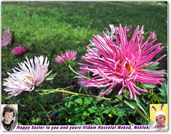 Easter-Húsvét 🐰🐰🐰 (Katalin Réz) Tags: easter flower nature green pink postcard