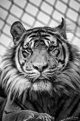 Tiger (John Fenner) Tags: olympus omd em10 mark iii mirrorless micro 43rds mzuiko 75300mm f4867 zoom tiger feline cat big london zoo regents park black white mono nature
