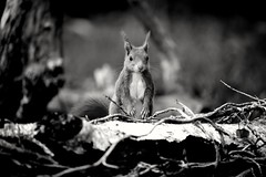 2019-04-19_05-49-52 (carlo612001) Tags: monochrome squirrel bnw nature scoiattolo bn bw nb woods