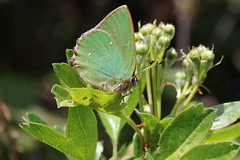 Green Hairstreak (roger_forster) Tags: greenhairstreak butterfly callophrysrubi wild insect browndown leeonthesolent gosport hampshire hiwwt