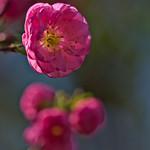 Almond Blossom thumbnail