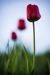 Blümchen (FODA_82) Tags: blumen frühling farben farbenpracht grün rot landschaft natur natureshots naturlovers nicelandscapes flower