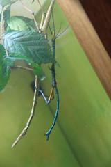 Phasmes (Sp6mEn Pics) Tags: taxidermie animaux empaillés disparus vivants lille france hautsdefrance nord lynx araignée loup dinosaure oiseau squelettes mammifère marin momie insects