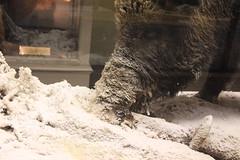 Sanglier (Sp6mEn Pics) Tags: taxidermie animaux empaillés disparus vivants lille france hautsdefrance nord lynx araignée loup dinosaure oiseau squelettes mammifère marin momie insects
