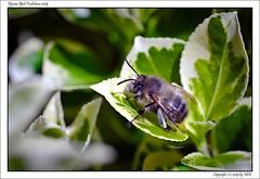 DSC00858_s (mikre_me) Tags: aprilfoolishness dyxumaprilfoolishness backyardsession backyard spring bee macro afday19 vivitar10028macro kiron10028macro
