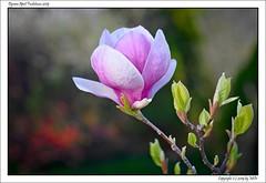 DSC00854_s (mikre_me) Tags: aprilfoolishness dyxumaprilfoolishness backyardsession backyard spring flowers flower magnolia afday19 vivitar10028macro kiron10028macro