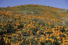 Antelope Valley California Poppy Reserve State Natural Reserve (liviaferguson) Tags: antelopevalleypoppypreserve california lancaster digital superbloom poppy poppies flowers outdoors nature nikond750 nikon