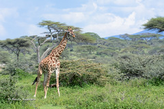 BK0_3911 (b kwankin) Tags: africa giraffe ndutu serengeti tanzania