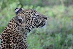 BK0_3606 (b kwankin) Tags: africa leopard ndutu serengeti tanzania