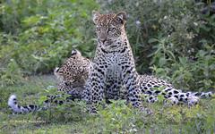 BK0_3539 (b kwankin) Tags: africa leopard ndutu serengeti tanzania