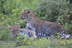 BK0_3533 (b kwankin) Tags: africa leopard ndutu serengeti tanzania