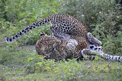 BK0_3526 (b kwankin) Tags: africa leopard ndutu serengeti tanzania