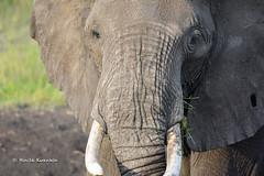 BK0_1080 (b kwankin) Tags: africa elephant serengeti tanzania