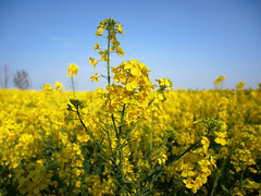 yellow fields (auroradawn61) Tags: goodfriday easter dorset uk england spring 2019 sunny countryside fields yellow flowers rapeseedoil