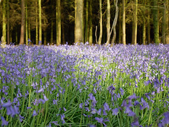 bluebell woods (auroradawn61) Tags: goodfriday easter dorset uk england spring 2019 sunny countryside flowers bluebells woods trees bluebellwoods