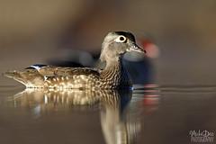 IMG_8688nxr (4President) Tags: wood duck aix sponsa minnesota