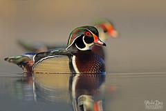 IMG_8402nx (4President) Tags: wood duck aix sponsa minnesota