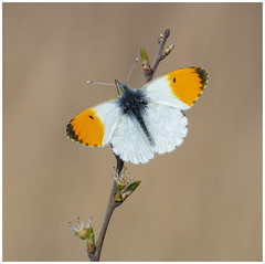 Orange Tip (nigel kiteley2011) Tags: orangetip anthochariscardamines insects macro lepidoptera nature butterfly butterfrlies canon 5dmk3 canoneos5dmk3 sigma180mm