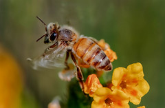 almost gone #honeybee (pstrock1) Tags: morning wings wild bee fly nature flower honey pasture beauty insect leaving sunlite light