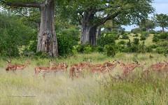 BK0_7053 (b kwankin) Tags: africa impala ruahanationalpark tanzania