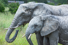 BK0_6977 (b kwankin) Tags: africa elephant ruahanationalpark tanzania