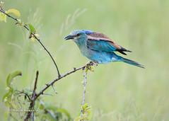 BK0_6917 (b kwankin) Tags: africa bird rollereuropean ruahanationalpark tanzania