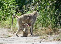 BK0_6811 (b kwankin) Tags: africa baboonyellow ruahanationalpark tanzania baby