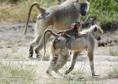 BK0_6805 (b kwankin) Tags: africa baboonyellow ruahanationalpark tanzania baby